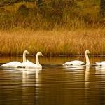 Whooper Swans Loch Kirkcaldy 27 Nov 2014 Alison Ritchie