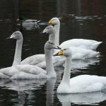 Whooper Swans Loch Oire 6 Jan 2017 Martin Cook P