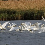 Whooper Swans Loch Spynie 1 Nov 2013 Gordon Biggs