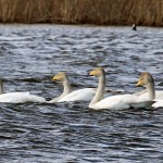 Whooper Swans Loch Spynie 15 Apr 2013 Gordon Biggs