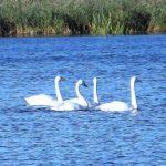Whooper Swans Loch Spynie 2 Oct 2016 Lisa Stewart