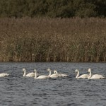 Whooper Swans Loch Spynie 29 Sept 2014 David Main