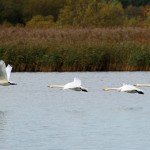 Whooper Swans Loch Spynie 30 Oct 2013 Gordon Biggs