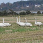 Whooper Swans Milton of Grange 29 Oct 2014 Gordon McMullins 1
