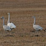Whooper Swans Moyness 3 Nov 2017 Jack Harrison
