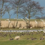 Whooper Swans and geese Clochan 28 Nov 2015 Martin Cook
