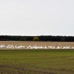 Whooper Swans near Hatton 15 Nov 2015 Gordon Biggs 1