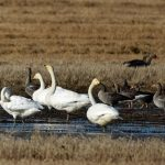 Whooper Swans near Milltown airfield 10 Oct 2017 Gordon Biggs