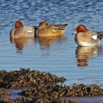Wigeon, Lossie estuary 12 Jan 2015 (Tony Backx)