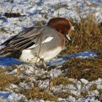 Wigeon, Lossie estuary 17 Jan 2015 (Tony Backx)