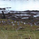 Wigeon Lossie estuary 22 Oct 2016 Melvin Morrison