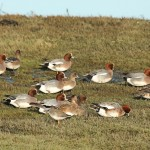 Wigeon, Lossie estuary 25 Nov 2014 (Martin Cook) 2P