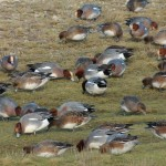 Wigeon, Lossie estuary 30 January 2015 (Martin Cook)