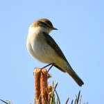 Willow Warbler Cullen 14 May 2014 Lenny Simpson 2