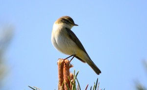 Willow Warbler, Cullen 14 May 2014 (Lenny Simpson) 2