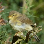 Willow Warbler Loch Spynie 10 Aug 2014 Bob Proctor