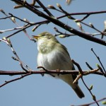 Willow Warbler Loch of Blairs 22 Apr 2016 Alison Ritchie