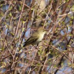 Willow Warbler Lossie Forest 17 Apr 2015 Martin Cook P
