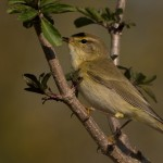 Willow Warbler, Lossie estuary 21 Apr 2015 (David Main)