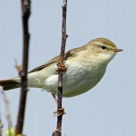 Willow Warbler Lossiemouth 26 May 2013 Gordon Biggs