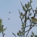 Willow Warbler Tugnet 8 May 2018 Martin Cook