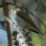 Wood Warbler Ferness 28 May 2017 Mike Crutch 1