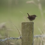 Wren, Lossiemouth 11 Oct 2014 (David Main)