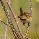 Wren Pigaveny 15 Apr 2014 David Main