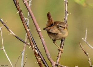 Wren, Pigaveny 15 Apr 2014 (David Main)