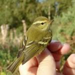 Yellow browed Warbler Loch Spynie 14 Oct 2015 Bob Proctor 2