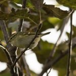 Yellow browed Warbler Portknockie 7 Oct 2016 David Main 1