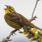 Yellowhammer Hopeman 24 May 2017 Mike Crutch P