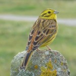 Yellowhammer, Lossie estuary 19 Oct 2015 (Bob Proctor)