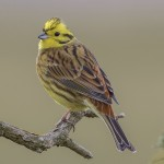 Yellowhammer, Lossie estuary 6 Mar 2015 (David Main)