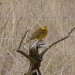 Yellowhammer South Darkland 30 March 2013 David Law