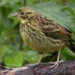Yellowhammer Tanzie 20 Jul 2017 Robert Ince 2