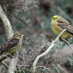 Yellowhammers Lossiemouth 22 Mar 2014 Gordon Biggs