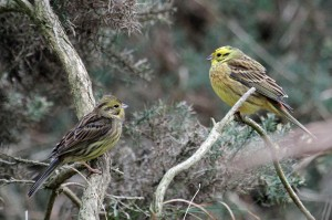 Yellowhammers, Lossiemouth 22 Mar 2014 (Gordon Biggs)
