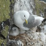 Kittiwake June 2016 Martin Cook