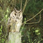 Long eared Owl Moyness 15 Jul 2015 Alison Ritchie 2 P