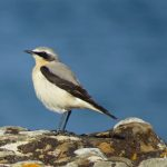 Wheatear Cummingston 10 Apr 2015 Alison Ritchie 1