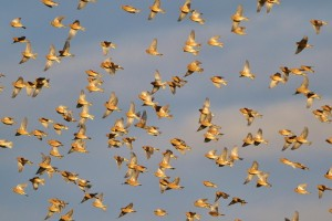 Linnets at Portknockie (Lenny Simpson)