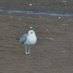 Common Gull Lossie estuary 4 Oct 2014 Duncan Gibson