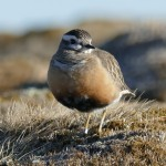 Dotterel, Cairn Lochan 23 May 2015 (Robert Ince)