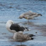 Herring Gull Lossie estuary 12 Sep 2017 David Main