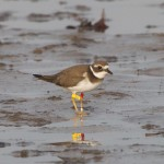 Ringed Plover Findhorn Bay 12 Sep 2014 Richard Somers Cocks