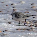 Sanderling Lossiemouth 20 Mar 2018 Margaret Sharpe