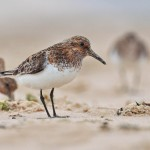 Sanderling Lossiemouth June 2012 Margaret Sharpe