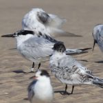 Sandwich Tern Findhorn 25 Aug 2017 Richard Somers Cocks