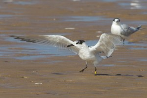 Sandwich Tern with colour ring, readable with a telescope